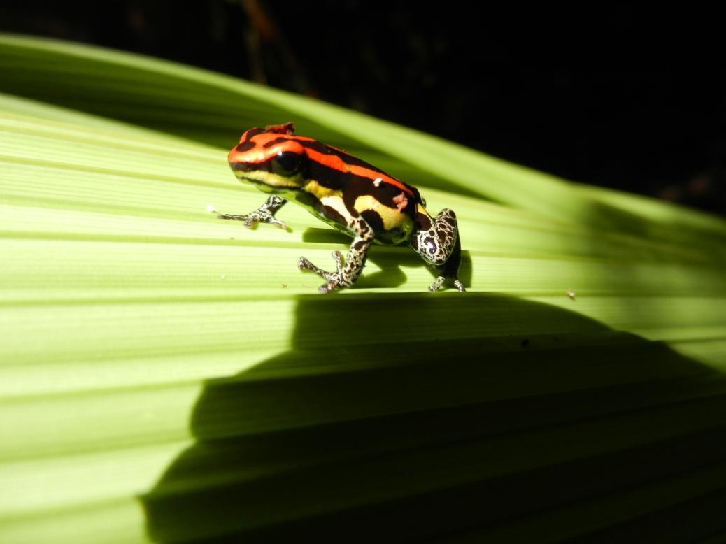 Red poison-dart frog.