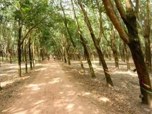 Rubber plantation.