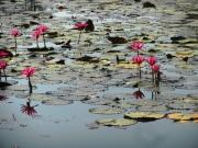 Angkor Wat lilies.